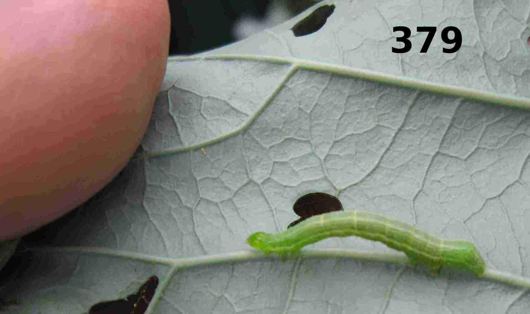 worm onbroccoli