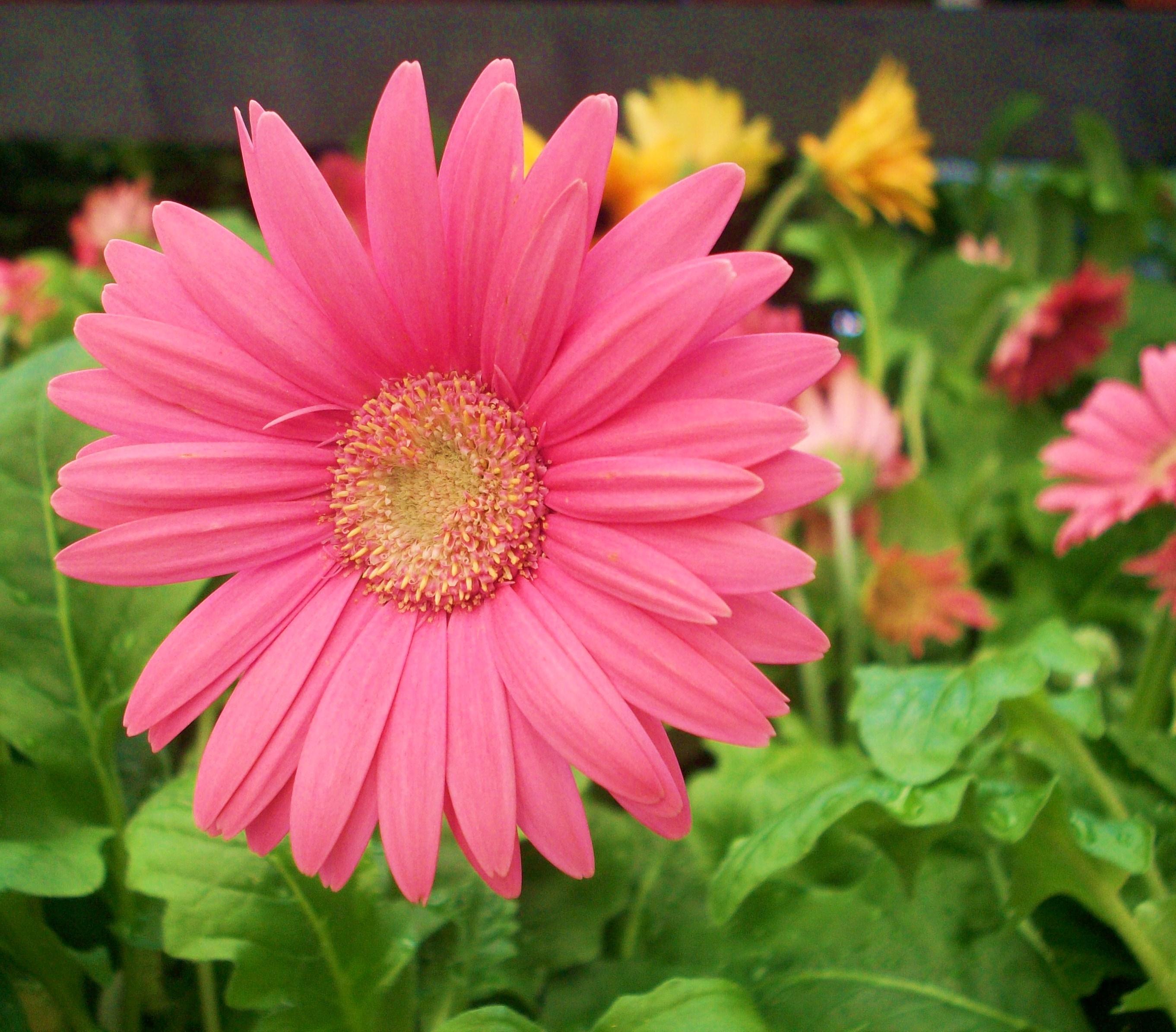 Фото и описание цветов гербера