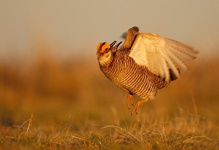 prairie-chick